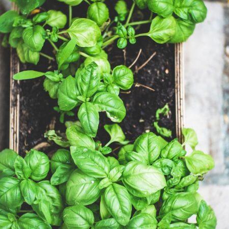 home grown herbs in pot